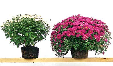 Lets growbrsteve boehmebrmums can be hardy perennials the you get what you pay for with hardy fall mums the mum on the right was grown with more soil and wider spacing mightylinksfo