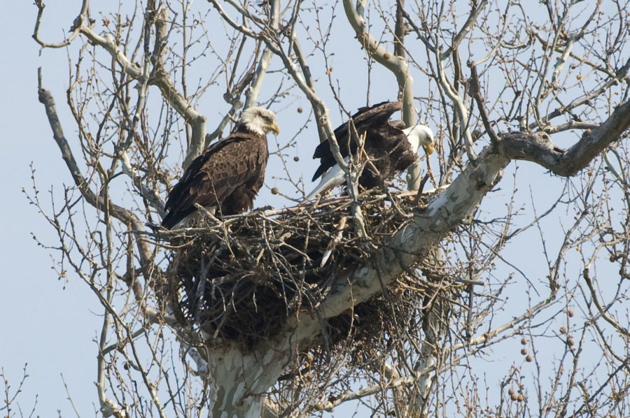 Odnr Help Us Discover All Of Ohio S Bald Eagle Nests